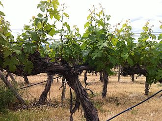 Cabernet Sauvignon - One of the older plantings of Cabernet Sauvignon in Washington State, planted in 1973 at Red Willow Vineyard in the Yakima Valley.