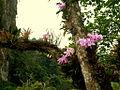 Orquideas en el Guacharo. Caripe - Edo. Monagas.jpg