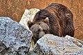 Orso bruno (Ursus arctos) - Brown bear, Valbrembo, Italia, 08.2014 (3).jpg