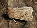 Orthosia cerasi - Common Quaker - Ранняя совка жёлто-бурая (40366587624).jpg