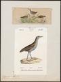 Ortygometra minuta - 1700-1880 - Print - Iconographia Zoologica - Special Collections University of Amsterdam - UBA01 IZ17500101.tif