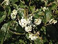 Osmanthus fragrans 20151023.JPG