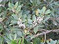 Osmanthus heterophyllus1.jpg