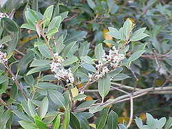 meaning of osmanthus