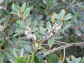 Osmanthus - Osmanthus heterophyllus in flower