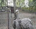 Ostrich caged.jpg