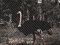 Ostrich in Kano.jpg