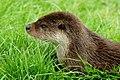 Otter in the Grass (5584419163).jpg