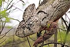 Oustalet's chameleon (Furcifer oustaleti) female head Andasibe.jpg