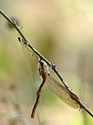 Owlfly Ascalaphidae by kadavoor.JPG