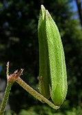 Oxalis corniculata fruit (14520778180).jpg