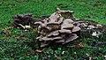 Oyster mushroom and friends (24128335486).jpg