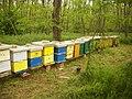 Pčele na bagremu - panoramio (2).jpg
