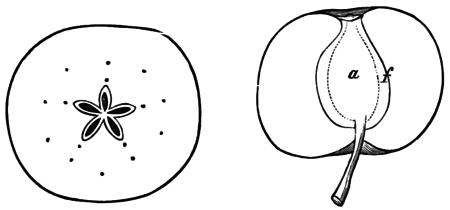 PSM V05 D154 Sections of apple and kittanning apple.png
