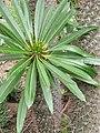 Pachypodium lamerei 2010-06-20 02.jpg