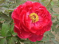 Paeonia cv Shima-nishiki red.JPG