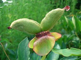 Paeonia peregrina.jpg