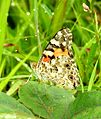 Painted Lady Vanessa cardui UN by Dr. Raju Kasambe Sathpool DSCN3827 (1).jpg