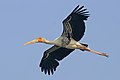Painted stork (Mycteria Leucocephala) in flight.jpg