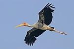 Painted stork (Mycteria Leucocephala) in flight.jpg