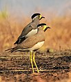 Pair of Yellow-wattled Lapwing (Vanellus malabaricus) Photograph by Shantanu Kuveskar.jpg