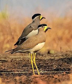 Yellow-wattled lapwing species of bird