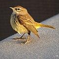 Palm Warbler (5270947786).jpg