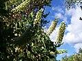 Palo Miel arbol nativo de Chile - panoramio.jpg