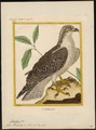 Pandion haliaëtus - 1700-1880 - Print - Iconographia Zoologica - Special Collections University of Amsterdam - UBA01 IZ18100275.tif