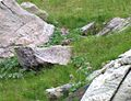 Pano Vallée des Merveilles abc21 marmotte.jpg