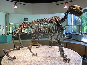 American lion - Skeleton from the La Brea tar pits at the George C. Page Museum