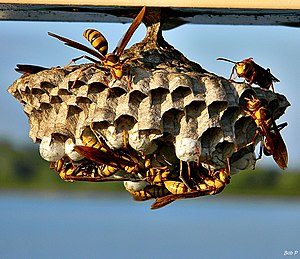 Polistes major major - Nest in West Palm Beach, Florida