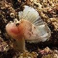 Paperfish at Aliwal Shoal, South Africa (36237767840).jpg