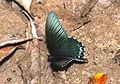 Papilio forbesi (24458052051).jpg