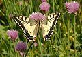 Papilio machaon Saarland 2012-05-17 002.jpg