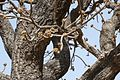Parc national de la Pendjari-Vitellaria paradoxa (2).jpg