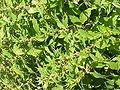Parietaria erecta1.jpg
