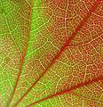 Parthenocissus tricuspidata 04.jpg