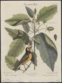Parus atricapillus - 1700-1880 - Print - Iconographia Zoologica - Special Collections University of Amsterdam - UBA01 IZ16100131.tif