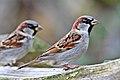 Passer domesticus Reifel Migratory Bird Sanctuary-16.jpg