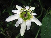 Passiflora at Jardin Botanico del Quindio