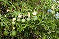 Passiflora caerulea frutos verdes.jpg