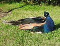 Peacock (27890343571).jpg