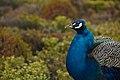 Peacock (8447328609).jpg