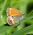 Pearly Heath. Coenonympha arcania (15572617024).jpg