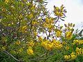 Peltophorum africanum, blomme, Blouberg NR, b.jpg