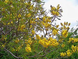 Peltophorum africanum - Image: Peltophorum africanum, blomme, Blouberg NR, b