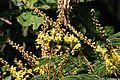 Peltophorum africanum02.jpg
