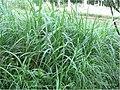 Pennisetum purpureum 0zz.jpg