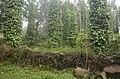 Pepper plantation Kolli hills JEG3049.jpg